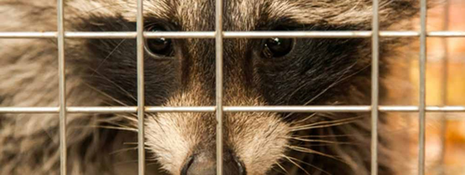 Al's Raccoons Capture and Relocation